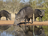 Herd Drinking at Ranch Pond, Pecari Tajacu, Collared Peccary, Starr Co., Texas, Usa Papier Photo par Larry Ditto