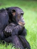 Alpha-Male Chimpanzee  Gombe National Park  Tanzania