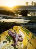 Purple Sea Star  Asterias Ochracea  Santa Cruz  California  Usa