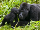 Infant Mountain Gorilla Leans in to Kiss Silverback  Bwindi Impenetrable National Park  Uganda