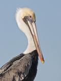 Brown Pelican (Pelecanus Occidentalis) Perched at Goose Island State Park  Aransas Co  Texas  Usa
