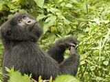 Mountain Gorilla in Volcanoes National Park  Virunga Mountains  Rwanda  Africa