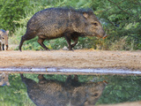 Adult and Baby  Pecari Tajacu  Collared Peccary  Starr Co  Texas  Usa