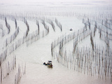 Fishing Boat Sailing Through Bamboo Sticks for Drying Seaweed  East China Sea  Xiapu  Fujian  China