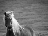 Islandic Horse with Flowing Light Colored Mane  Iceland