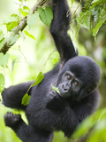 Baby Mountain Gorilla Hangs from Vine in Rainforest  Bwindi Impenetrable National Park  Uganda