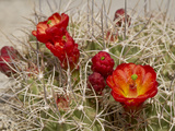 Claret Cup or Mojave Mound Cactus in Bloom  Mojave National Preserve  California  Usa