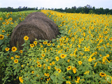 Hay Bale in Sunflowers Field  Bluegrass Region  Kentucky  Usa