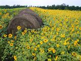 Hay Bale in Sunflowers Field  Bluegrass Region  Kentucky  Usa