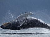 Humpback Whale Breaching  Chatham Strait  Angoon  Tongass National Forest  Alaska  Usa