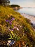 A Blue Flag Iris on the Coast of Maine's Great Wass Island Near Jonesport  Maine  Usa