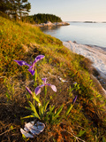 A Blue Flag Iris on the Coast of Maine's Great Wass Island Near Jonesport  Maine  Usa