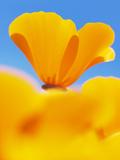 California Poppies  Eschscholzia Californica Californica  San Simeon State Park  California  Usa
