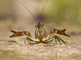 Crayfish (Cambarus Sp.) Defense Posture, Kendall Co., Texas, Usa Papier Photo par Larry Ditto