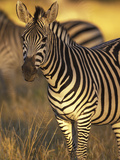 Linkwasha Camp  Burchell's Zebra (Equus Burchelli)  Hwange National Park  Zimbabwe