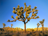 Joshua Tree (Yucca Brevifolia) at Sunset  Mojave Desert  Joshua Tree National Park  California  Usa