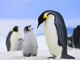 Emperor Penguin (Aptenodytes Forsteri) Parent with Chick on Ice  Snow Hill Island  Antarctica
