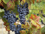 Lush Grapes Ready for Harvest in Vineyard  Near Pollzano  Chianti Region  Italy