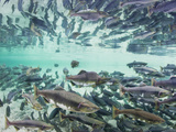 Spawning Chum and Red Salmon Near Kuliak Bay in Late Summer  Katmai National Park  Alaska  Usa