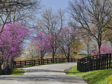 Road Lined with Redbud and Dogwood Trees in Full Bloom  Lexington  Kentucky  Usa