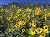 Common Sunflower (Helianthus Annuus)  Wellsville Mountains  Cache Valley  Great Basin  Utah  Usa