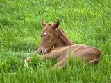 Thoroughbred Foal Lying in Grass  Donamire Horse Farm  Lexington  Kentucky  Usa