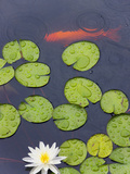 Flower and Gold Fish in Lily Pond in the Chinese Garden  Suzhou  Jiangsu Province  China