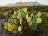 Chisos Mountains and Prickly Pear Cactus  Big Bend National Park  Brewster Co  Texas  Usa