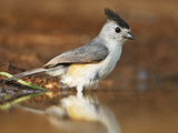 Black-Crested Titmouse (Baeolophus Atricristatus) Bathing  Starr Co  Texas  Usa