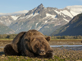 Grizzly Bear Resting on Tidal Flats Along Kukak Bay  Katmai National Park  Alaska  Usa