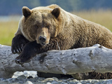 Grizzly Bear Resting on Old Tree Trunk  Kukak Bay  Katmai National Park  Alaska  Usa