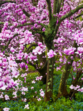 Cherry Blossom Tree in Spring Bloom  Wilmington  Delaware  Usa