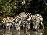 Five Burchell&#39;s Zebras Drinking in River  Near Seronera  Serengeti National Park  Tanzania