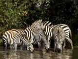 Five Burchell's Zebras Drinking in River  Near Seronera  Serengeti National Park  Tanzania