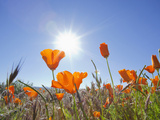 Poppies with Sun and Blue Sky  Antelope Valley Near Lancaster  California  Usa