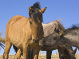 Wild Mustang Yearling and Foal Interacting