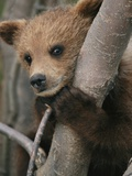 A Grizzly Bear (Ursus Arctos Horribilis) Cub Climbing a Willow Tree