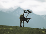 A Caribou Bull on a Gravel Road in Denali National Park