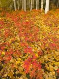 Colorful Aspen Leaves and White Aspen Tree Trunks in Autumn