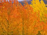 Quaking Aspens in Beautiful Bright Fall Colors Papier Photo par John Eastcott & Yva Momatiuk