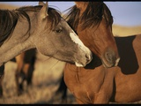 Wild Mustangs (Equus Caballus) Play Together in the Evening