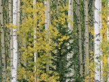A Grove of Aspen and White Birch Trees