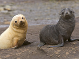 Southern Fur Seal Pups-One Blonde One Brown-Look at the Camera