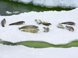 Crabeater Seals  Lobodon Carcinophagus  Hauled Out on Ice Floe  Resting