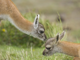Curious Guanaco  Lama Guanicoe  Calves Interacting on Grassy Slope