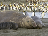 Southern Elephant Seal  Mirounga Leonina  Bull  Cow and Pup Resting