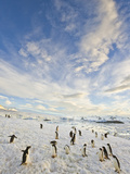 Adelie Penguins Walking on Coastal Snow Field under Cumulus Clouds