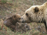 A Brown Grizzly Bear (Ursus Arctos Horribilis) Cub Is Inspected by its Mother