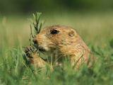 A Prairie Dog Eats Grass in Devils Tower National Monument