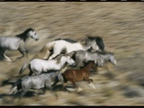 Wild Mustangs (Equus Caballus) Running Through a Desert